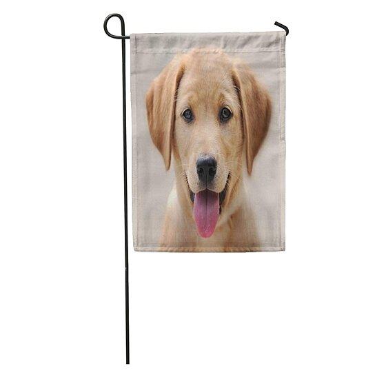 Buy Brown Lab Yellow Labrador Puppy Portrait Dog Eyes Nose