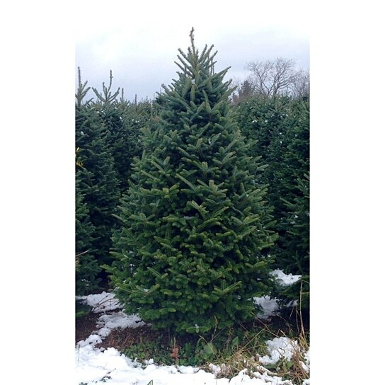 Cut premium grade real christmas tree by christmastrees on opensky