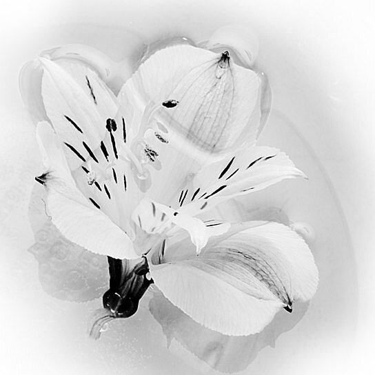 Buy Lily Photo Flower Image Black And White Photography