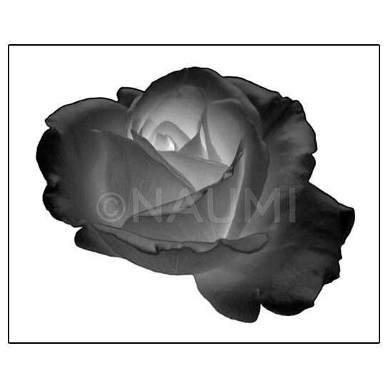 Buy flower fine art micro photography print black rose for Black and white rose wall mural