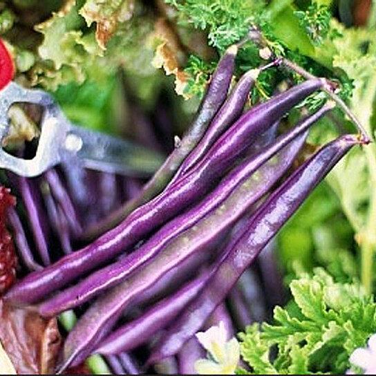 Buy Organic Louisiana Purple Pod Bush Bean Heirloom