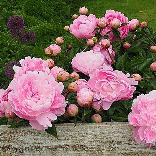 Giant Pink Peony Tree Flower Bulb